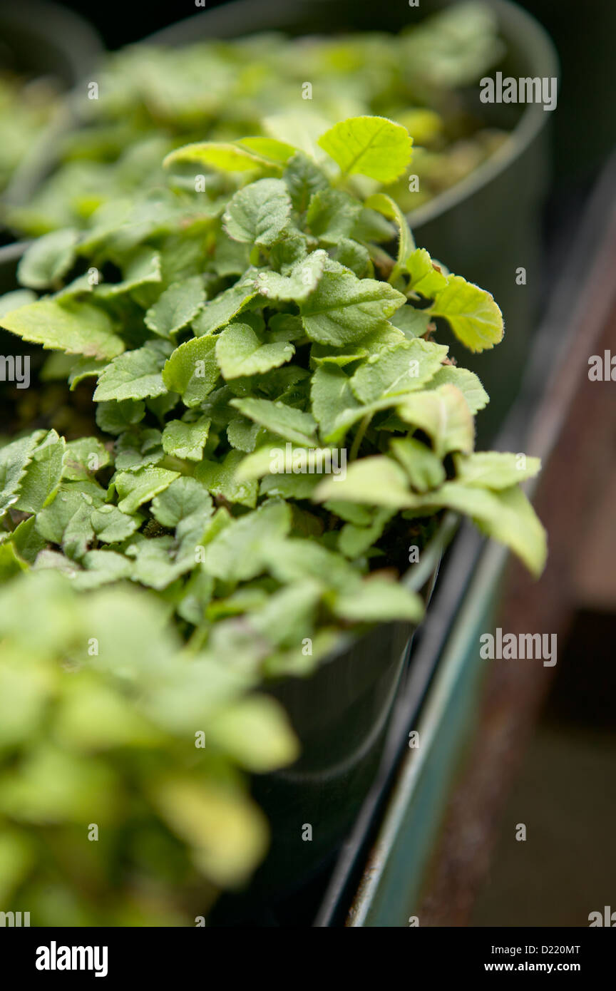 Bergamont-bee balm-oswego tea - Stock Image
