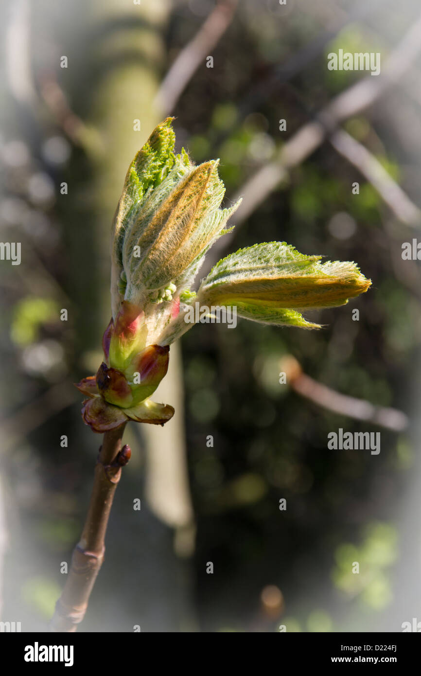 After the bareness of winter fresh new leaves are opening up on the horse chestnut trees Stock Photo