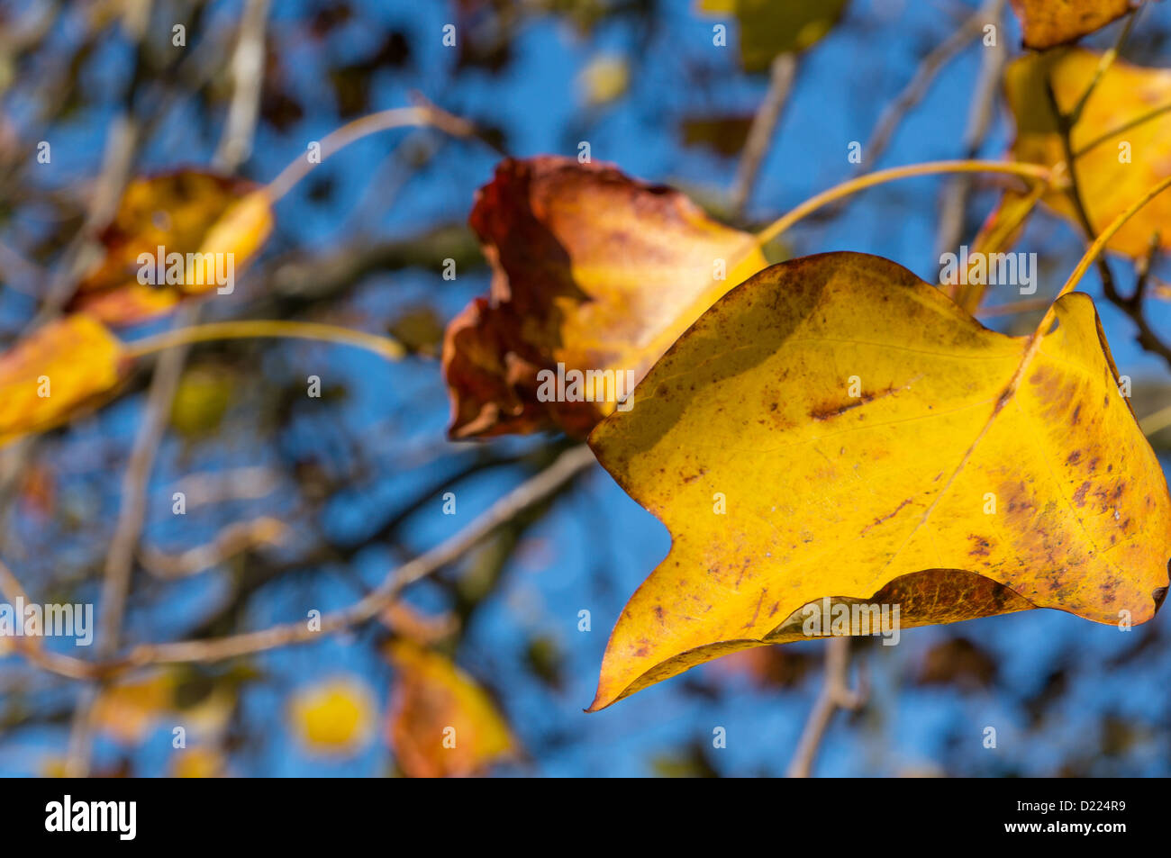 Glorious Autumn leaves against a blue sky - image taken with a shallow depth of field - Stock Image
