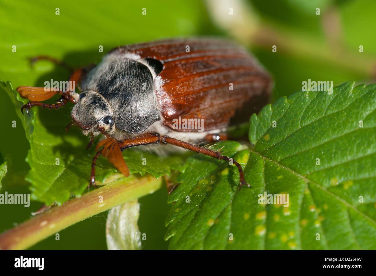 Maikaefer (Melolontha melolontha) Cockchafer, Maybug • Baden-Wuerttemberg, Deutschland Stock Photo