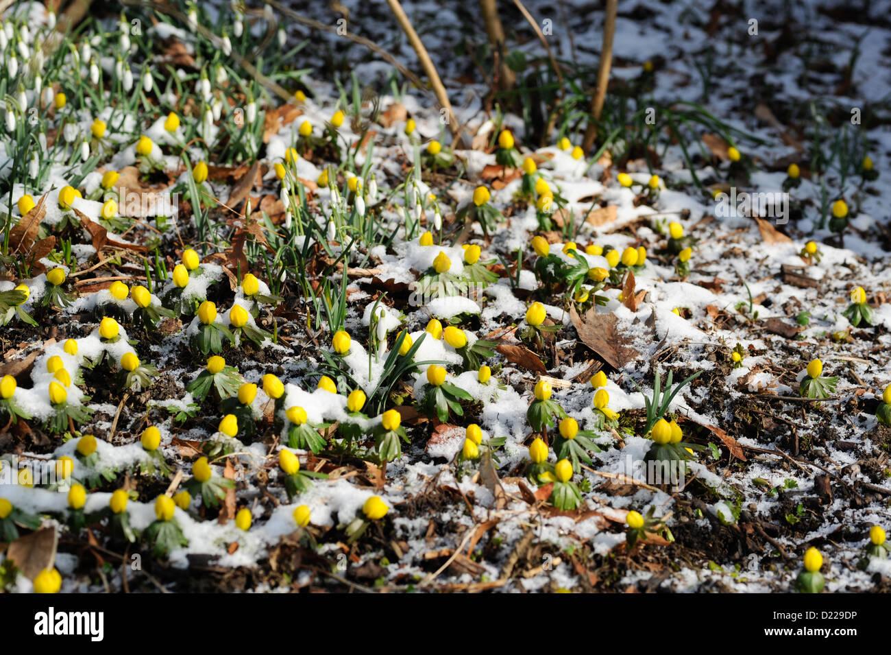 Suedeuropaeischer Winterling (Eranthis hyemalis) Winter Aconite • Baden-Wuerttemberg, Deutschland Stock Photo