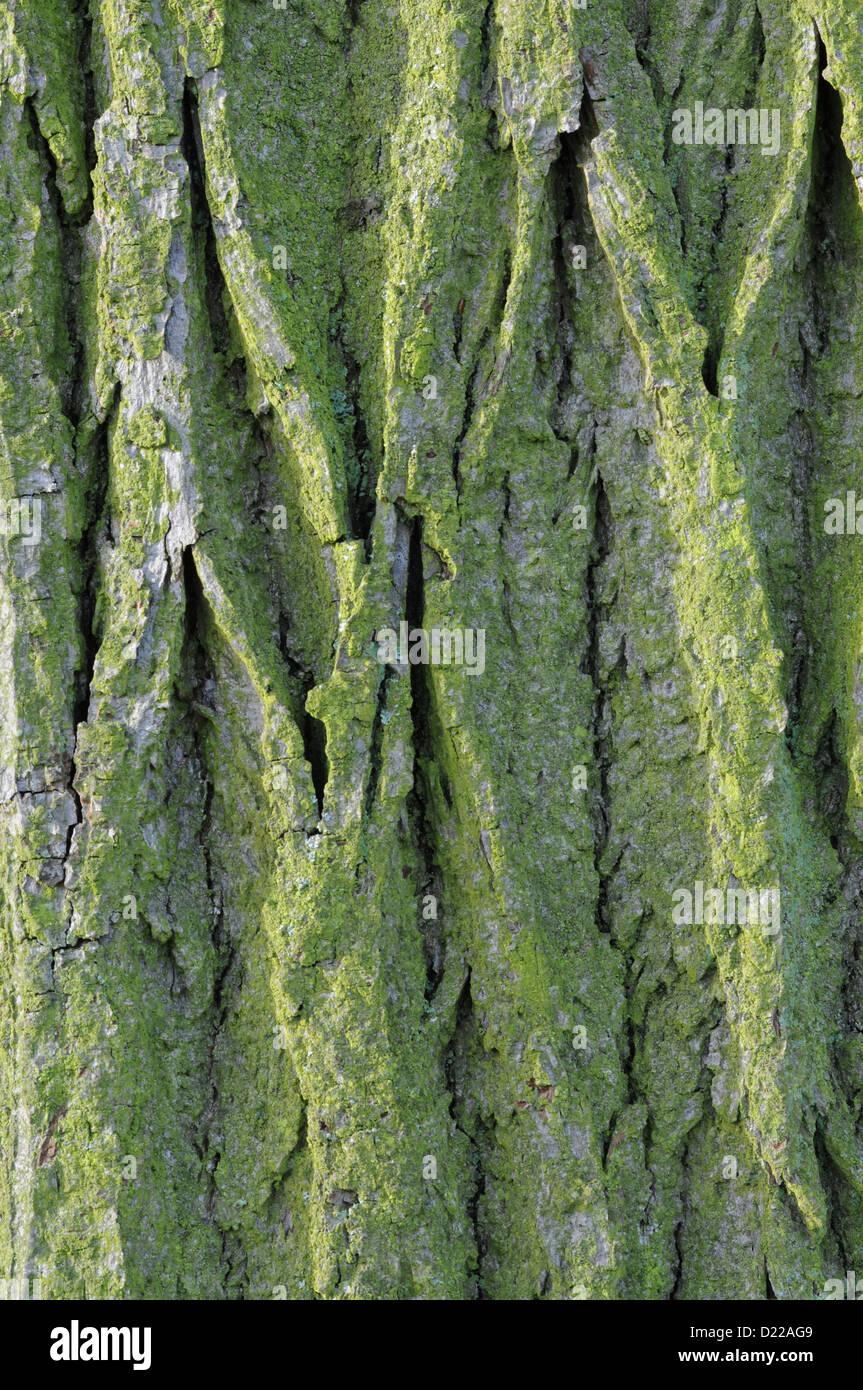 Tree bark sidelit in evening - Stock Image
