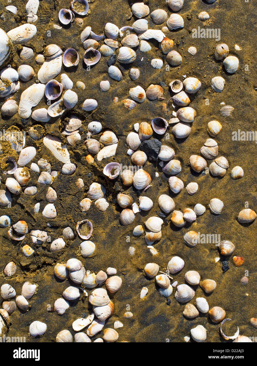 Shells on the sandy beach at Te Arai Point, Mangawhai, Northland, North Island, New Zealand. - Stock Image