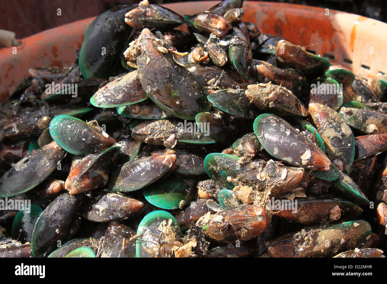 Harvested Asian green Sea Mussels - Stock Image