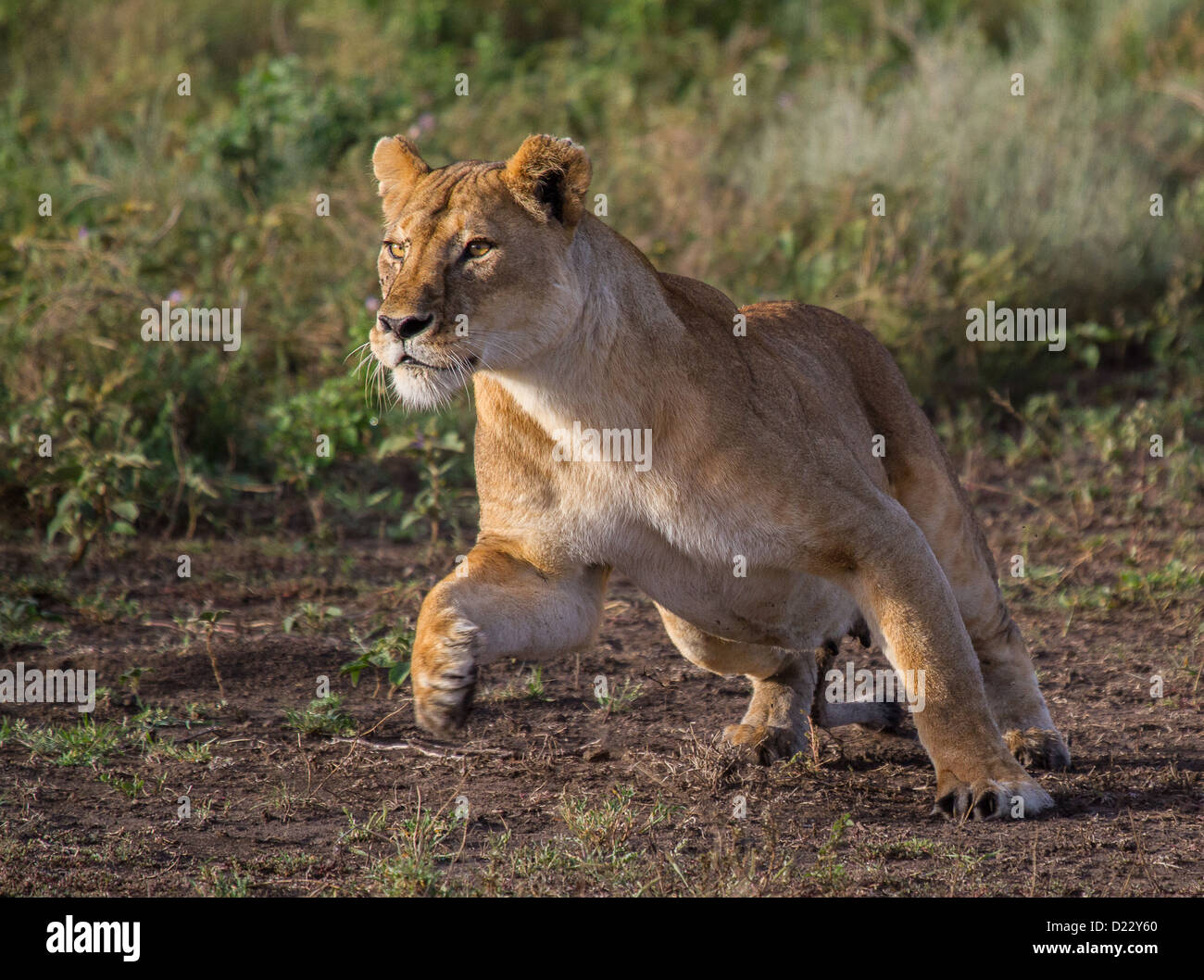 Lion Attack Stock Photos & Lion Attack Stock Images - Alamy