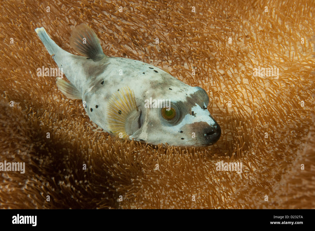 Black-Spotted Pufferfish (Arothron nigropunctatus) resting in a leather coral Stock Photo