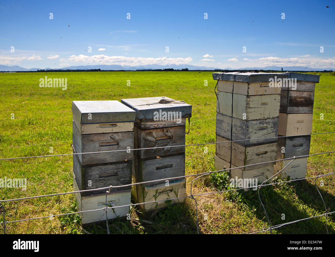 Honey bees flying around stacked beehives in rural Canterbury, South island, New Zealand. Summer. - Stock Image