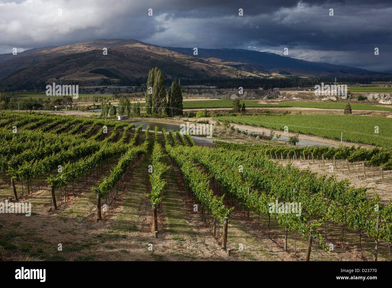 Vineyard, Mount Difficulty region, Central Otago, South Island, New Zealand - Stock Image