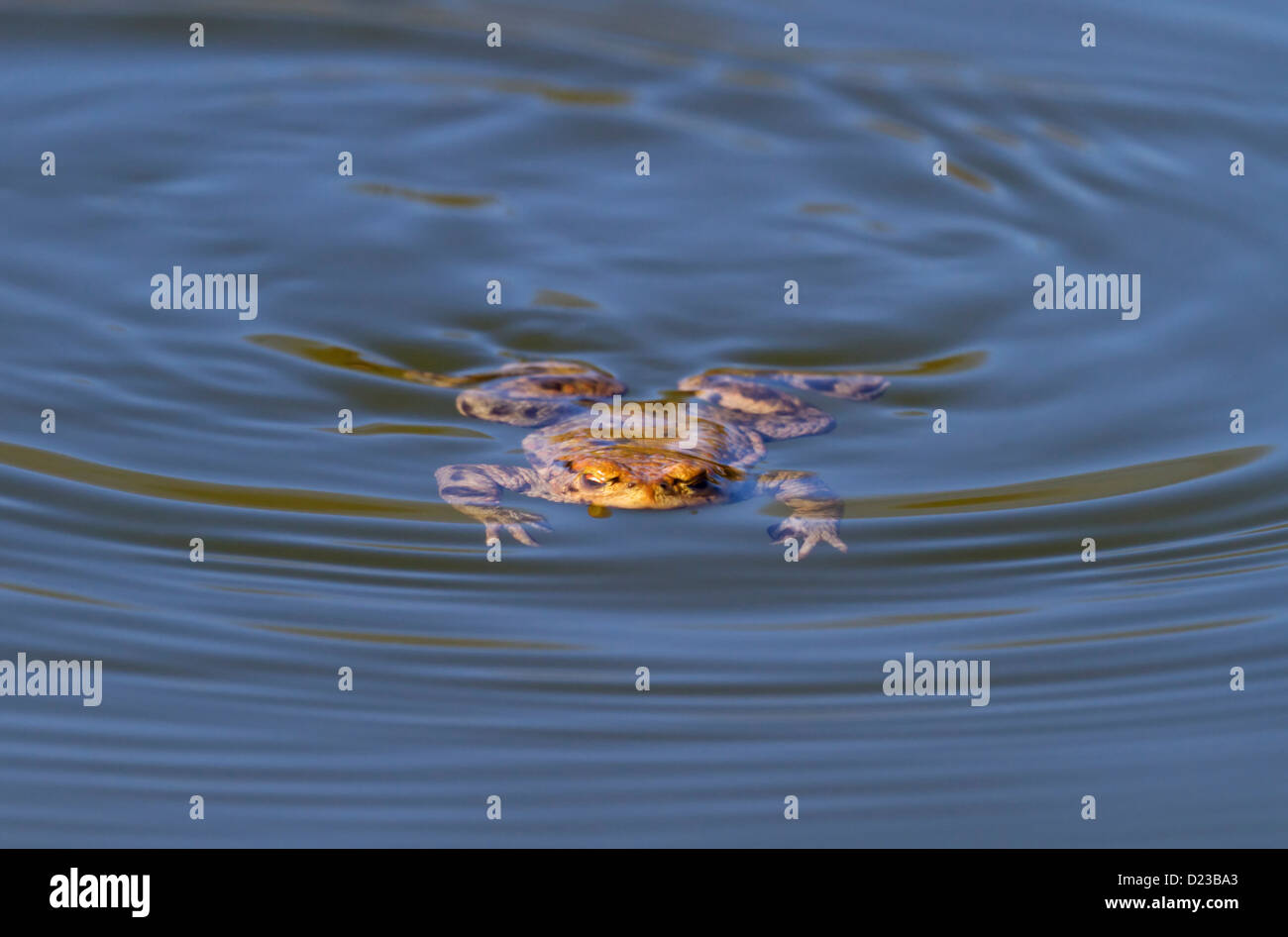 Common toads / Bufo bufo Stock Photo