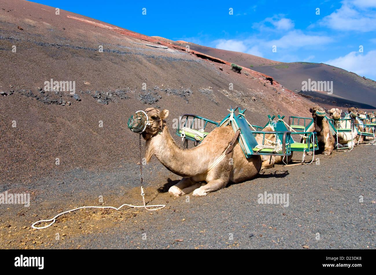 Camel Safari, Timanfaya National Park, Lanzarote, Canary Islands, Spain - Stock Image
