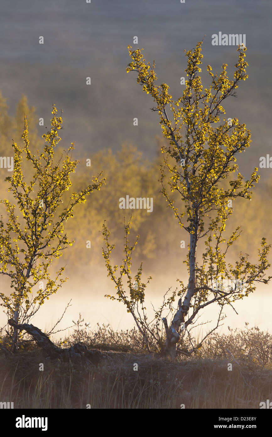 Birch tree and mist on a frosty morning at Fokstumyra nature reserve, Dovre, Norway. - Stock Image