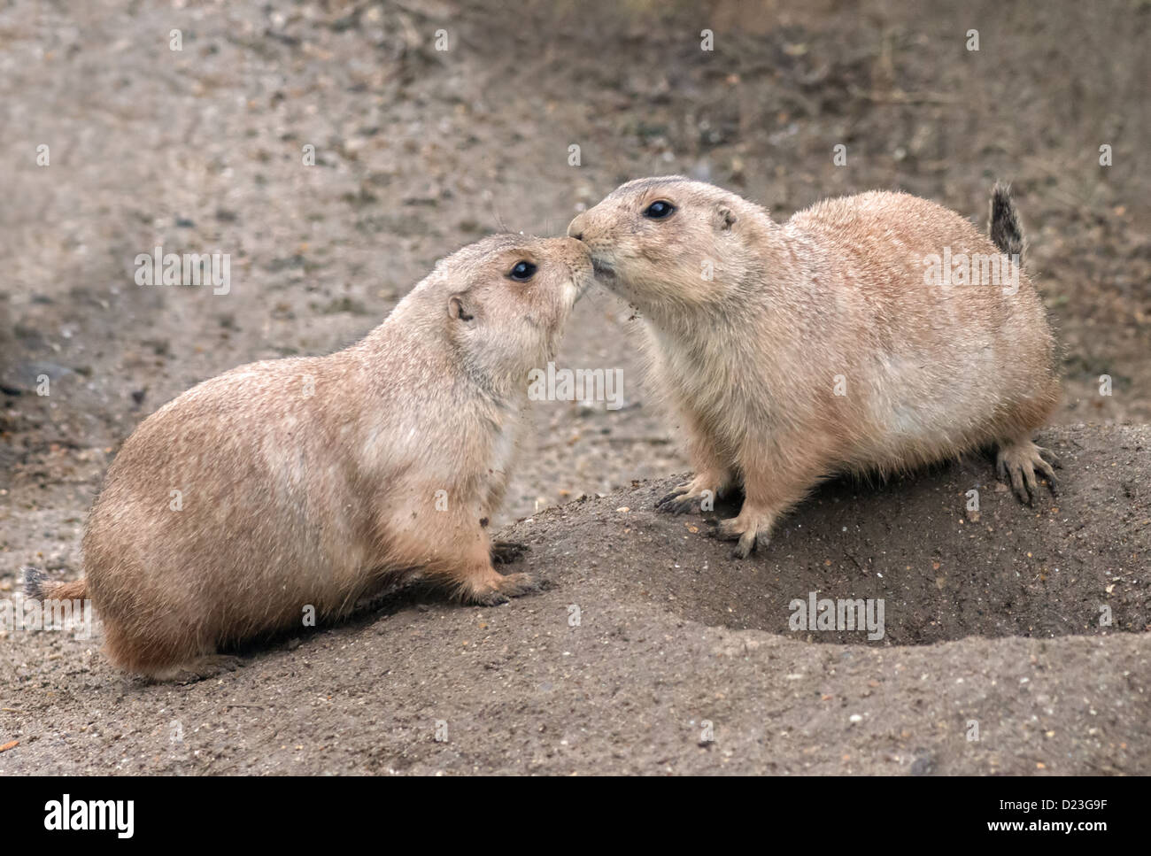 Two prairie dogs stock photos two prairie dogs stock images alamy pair of black tailed prairie dogs cynomys ludovicianus greeting eachother stock image m4hsunfo