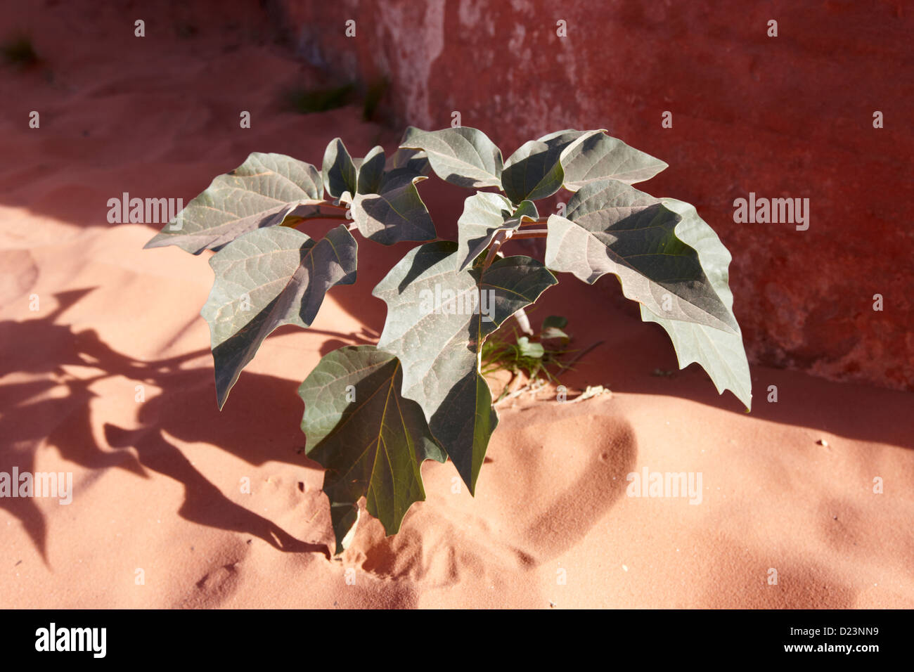 datura plant growing in the mojave desert valley of fire state park nevada usa the datura plant was used by the - Stock Image