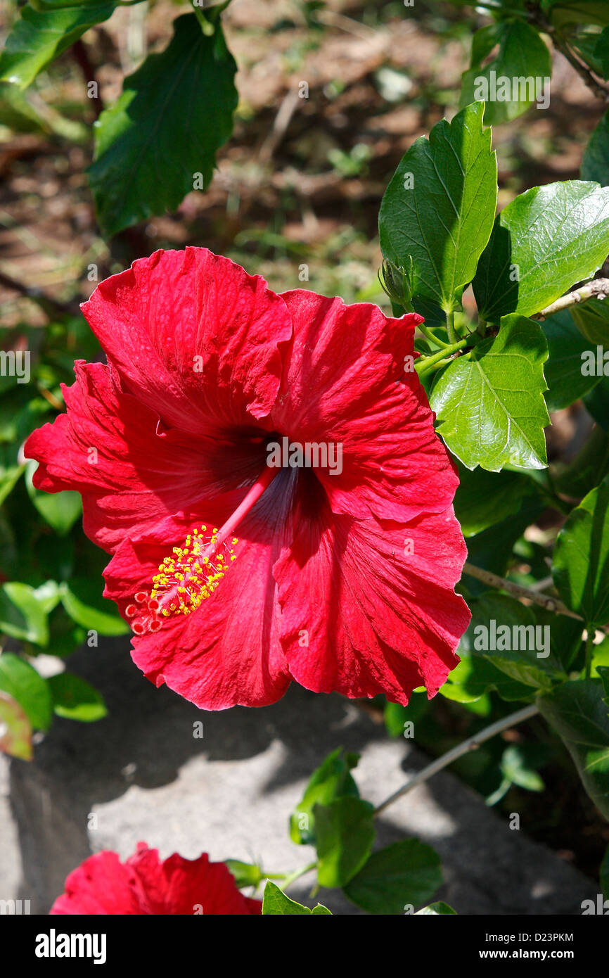 Hibiscus Rosa Sinensis Brilliant Stock Photo 52944072 Alamy