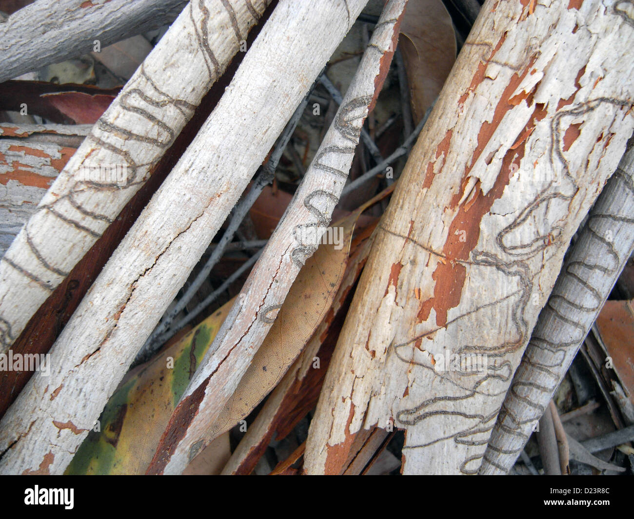 Shed bark of scribbly gum (Eucalyptus racemosa) amongst leaf litter, Moreton Island National Park, Brisbane, Australia - Stock Image