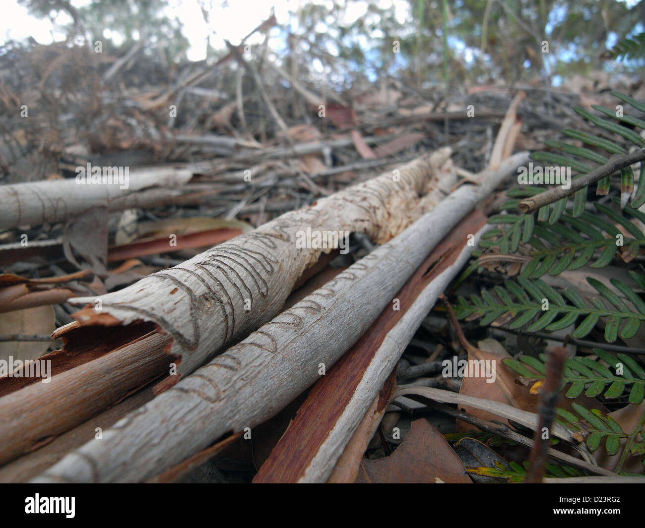 Mixed leaf litter including scribblygum bark (Eucalyptus racemosa) and bracken on floor of  forest - bushfire fuel - Stock Image