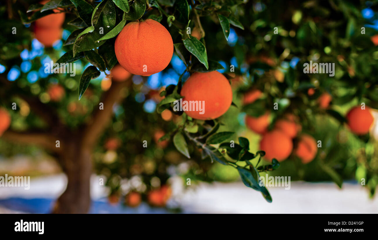 Ripe Oranges ready for picking in Alfaix, Andalucia - Stock Image