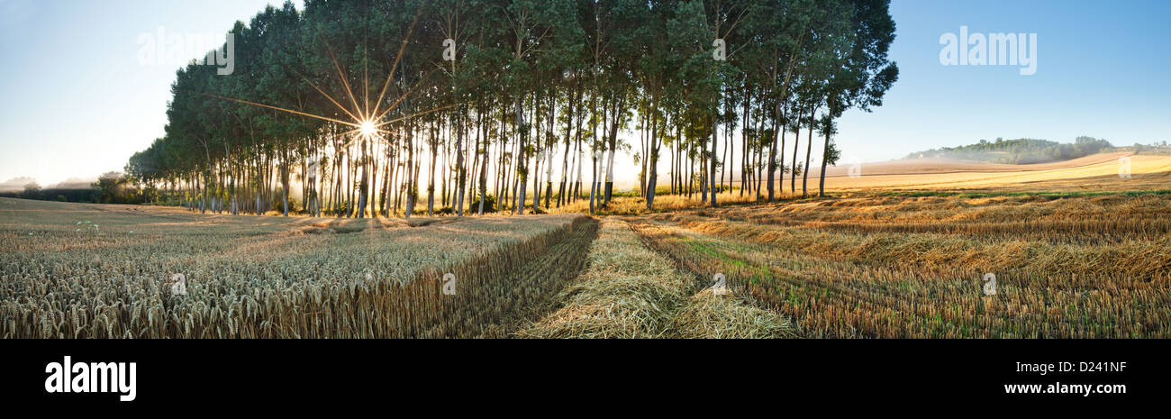 A partially combined field with a line of trees with the sun peaking through the trees at sunrise - Stock Image