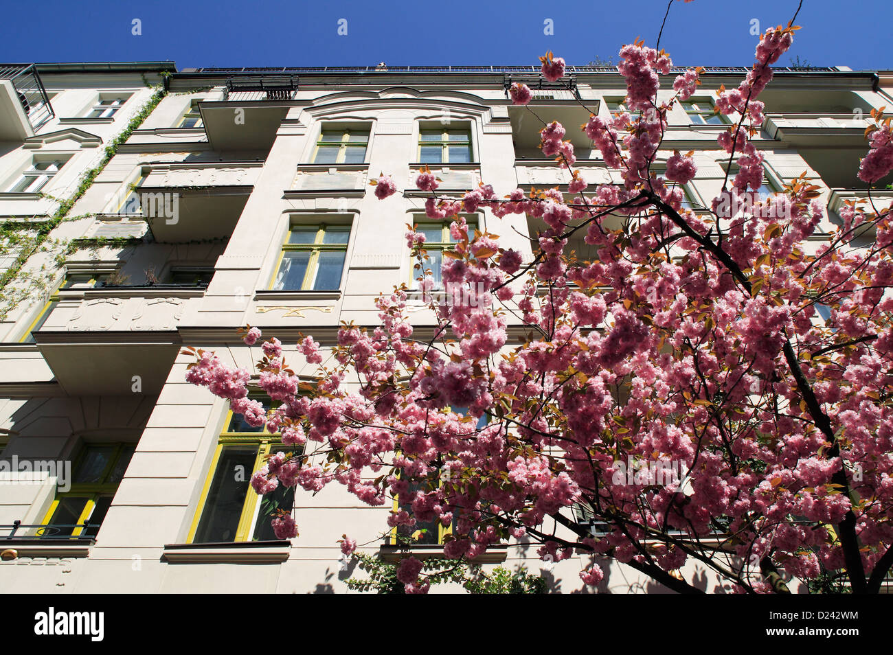 Berlin, Germany, blue budding cherry tree in front of an old building Stock Photo