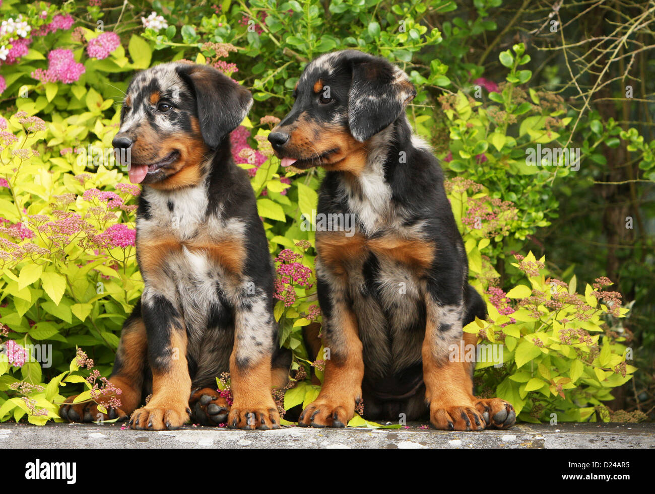 Beauceron Puppies Stock Photos Beauceron Puppies Stock Images Alamy