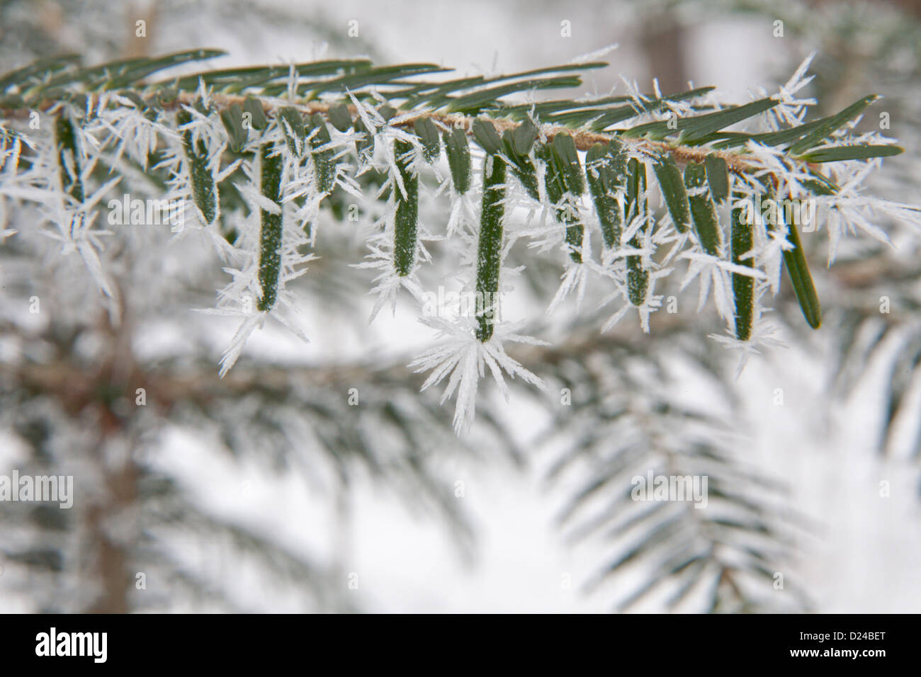 Detail of spray of yew in the icing - Stock Image