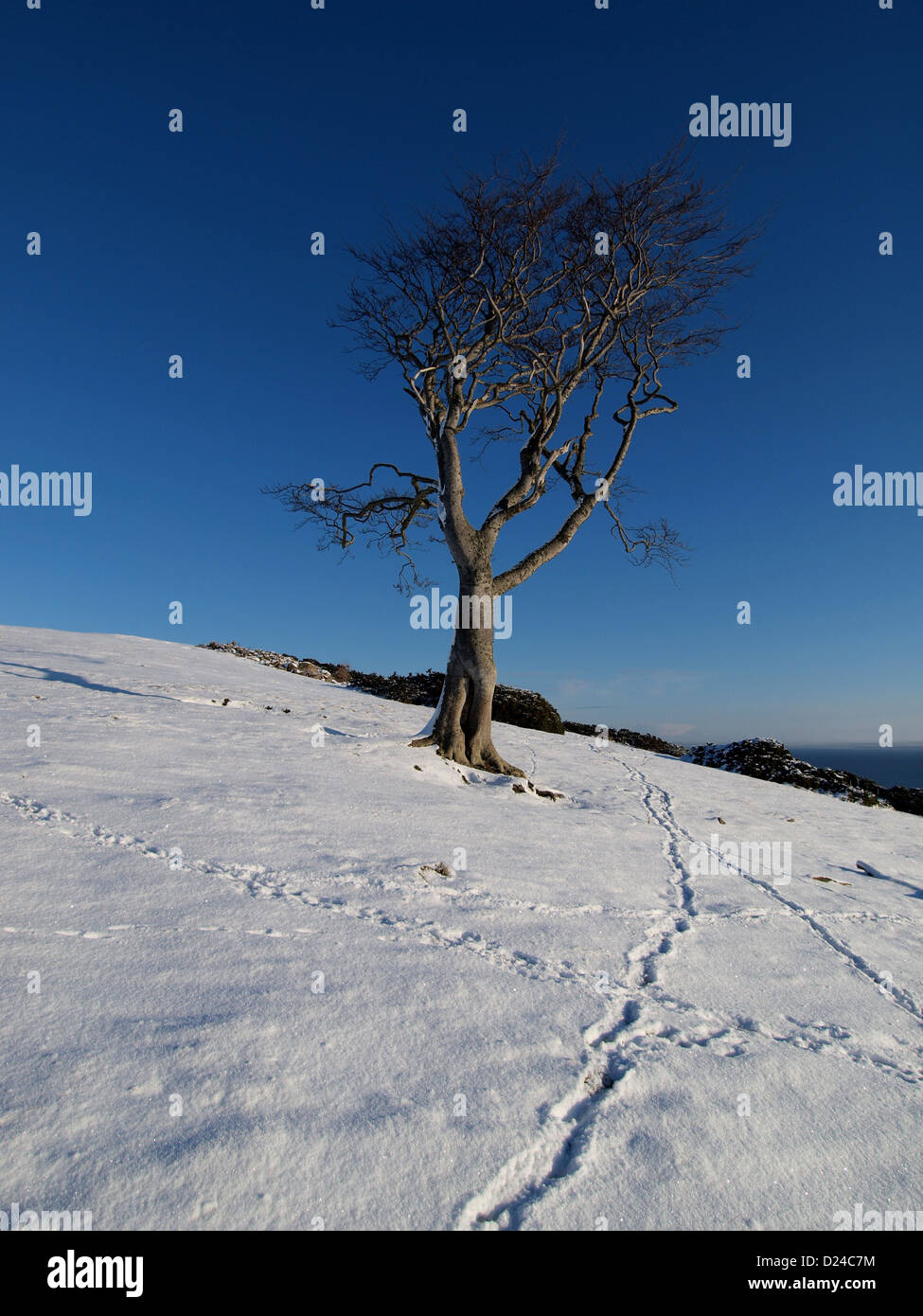 Animal tracks in the snow lead to a wind swept beech tree above the Moray Firth in the Highlands of Scotland. - Stock Image