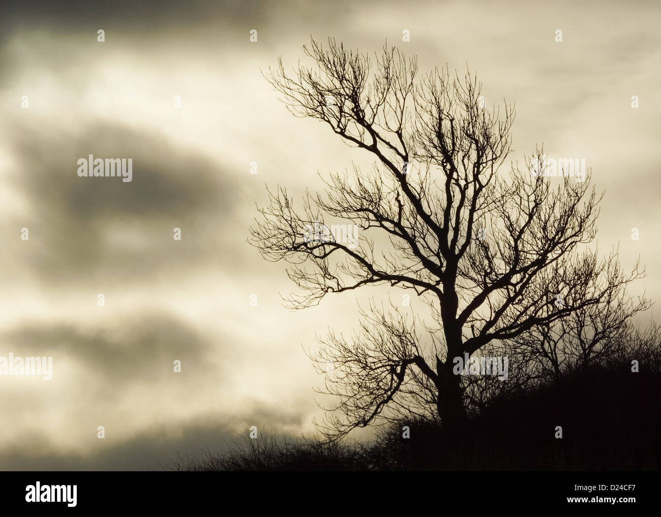 Silhouette Of A Tree Against An Overcast Sky - Stock Image