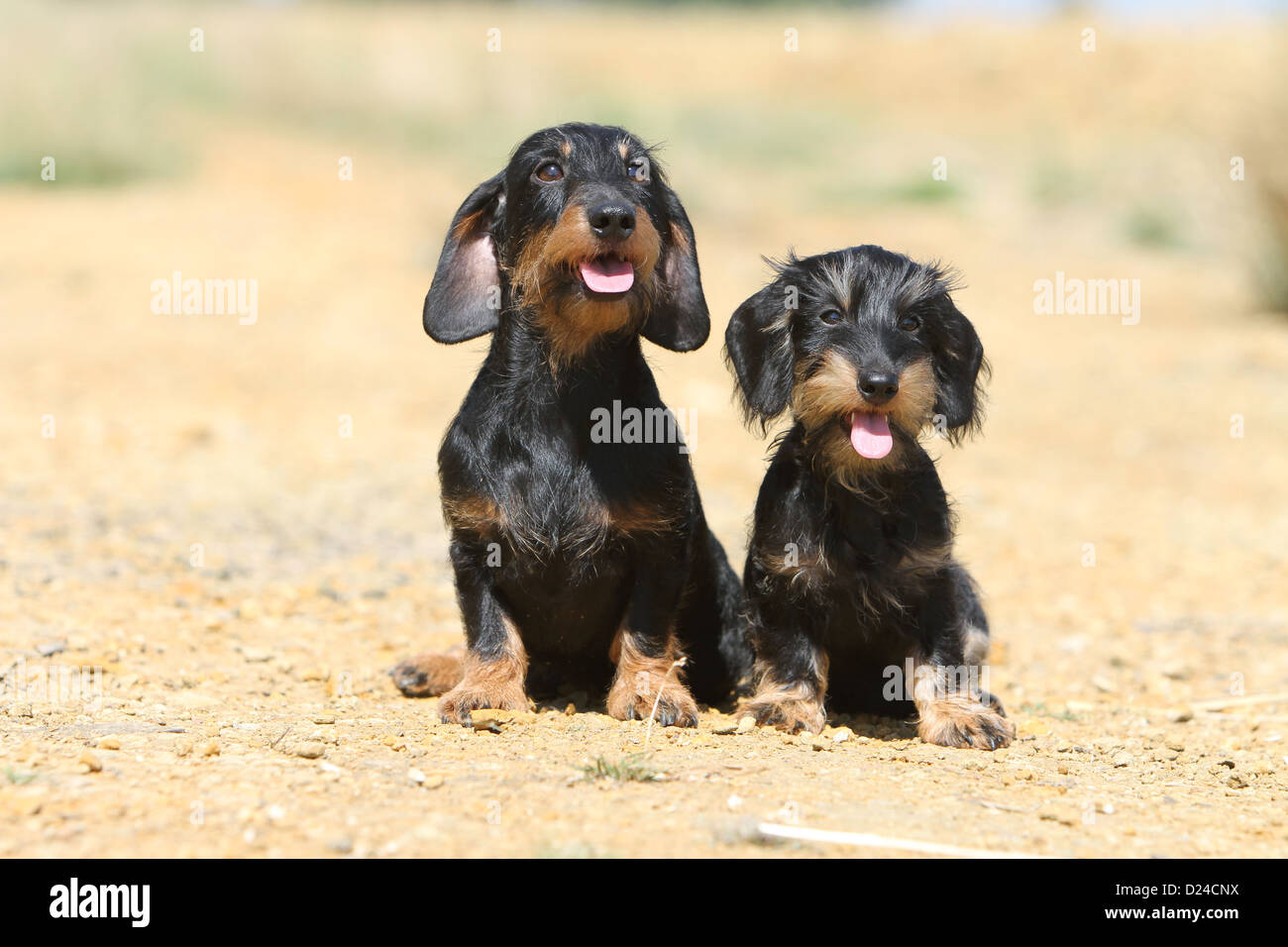 Tan Wire Dachshund Center 110v 50 Amp Male Plug 2539 Long Pigtail Arcon Rv Wiring Ar14250 Dog Dackel Teckel Wirehaired Adult And Puppy Black Rh Alamy Com Chocolate