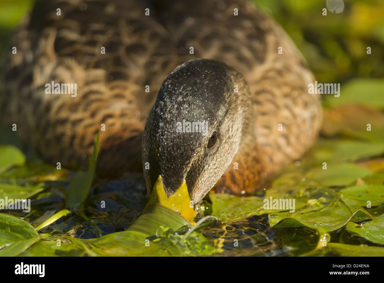 Domesticated Mallard Duck Stock Photos & Domesticated Mallard Duck ...