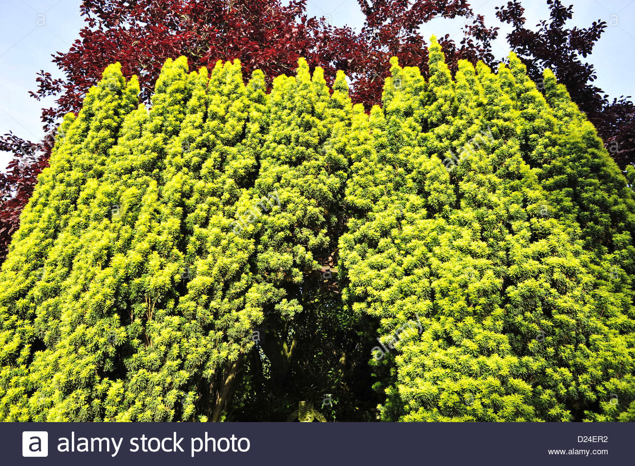 Ornamental yew tree and red beech - Stock Image