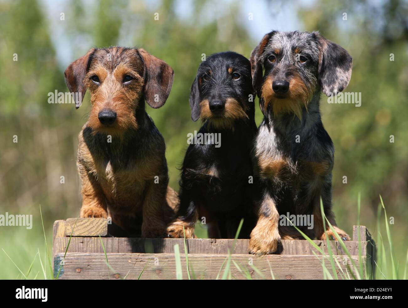 Dog Dachshund Dackel Teckel Wirehaired Three Adults Different
