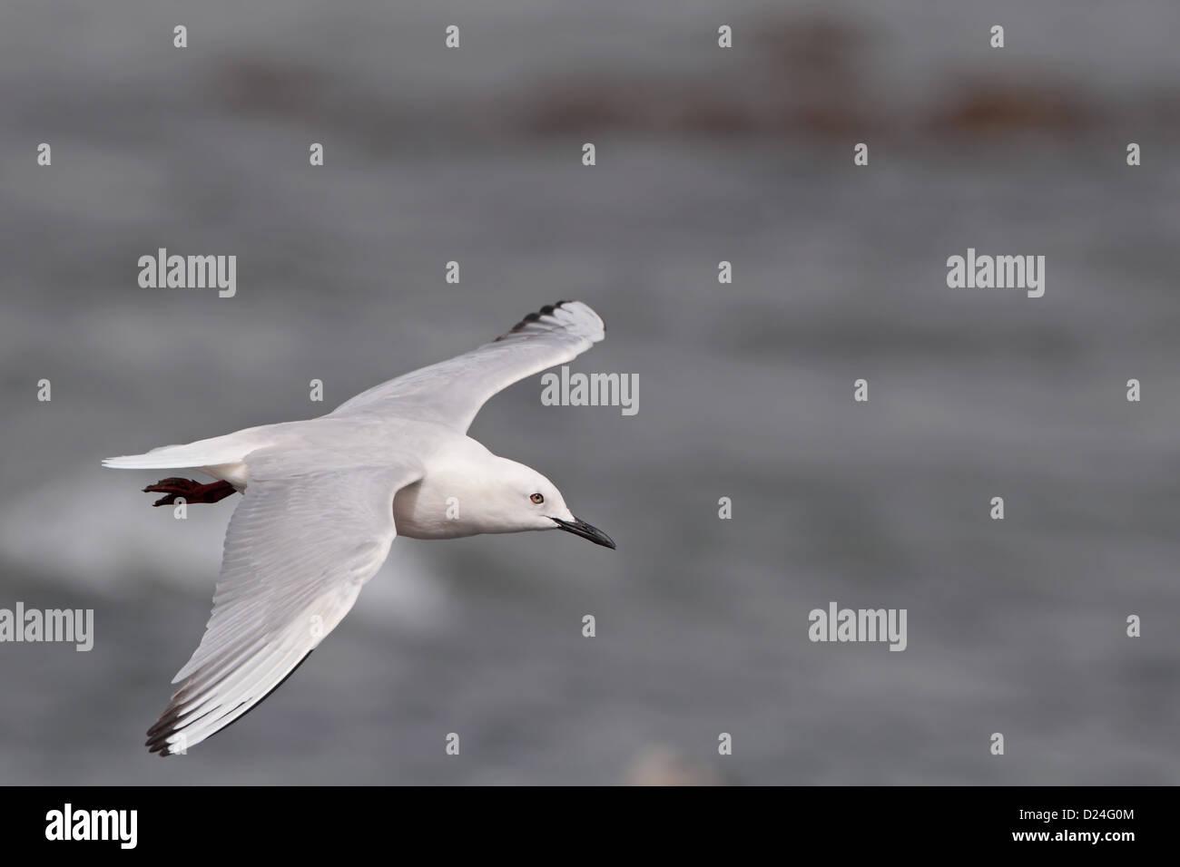 Slender-billed Gull (Chroicocephalus genei) adult, breeding plumage, in flight, Gambia, march Stock Photo