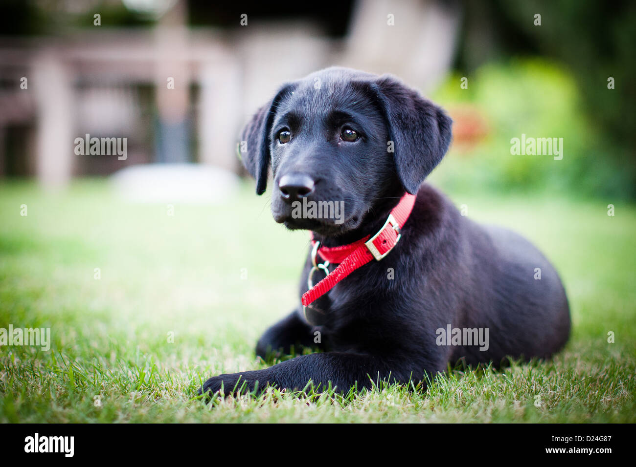 A Black Labrador Puppy with a red collar - Stock Image