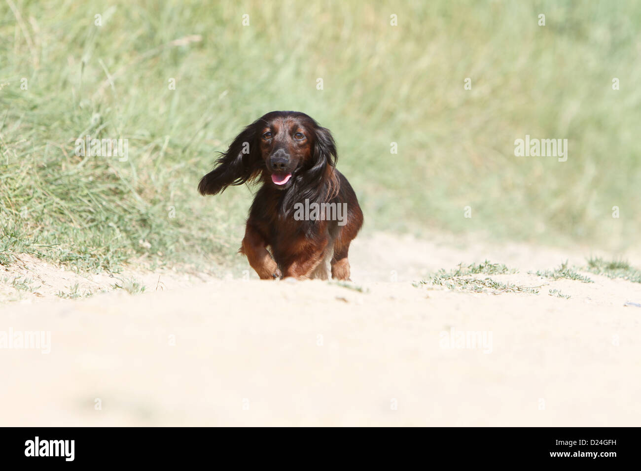 Dog Dachshund / Dackel / Teckel  longhaired adult (red) running Stock Photo