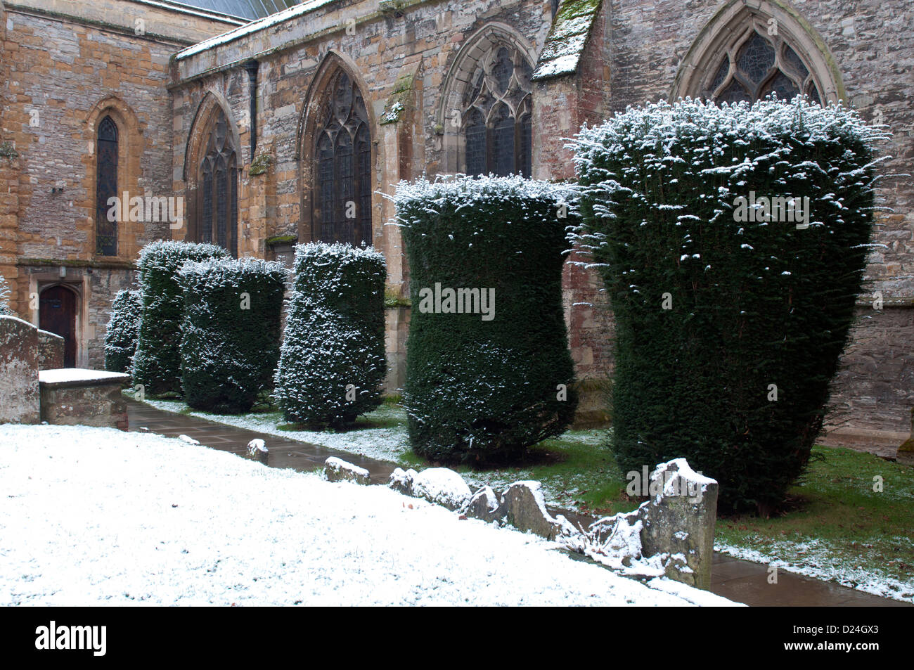 Yew trees in Holy Trinity churchyard in winter, Stratford-upon-Avon, UK - Stock Image