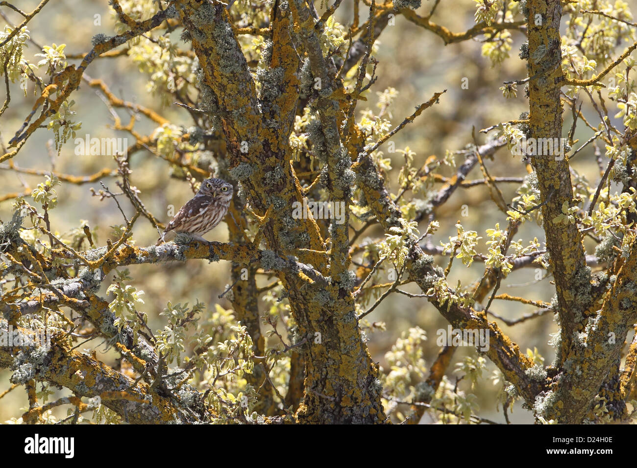 Little Owl (Athene noctua) adult, perched on lichen covered branch in tree, Lesvos, Greece, april - Stock Image