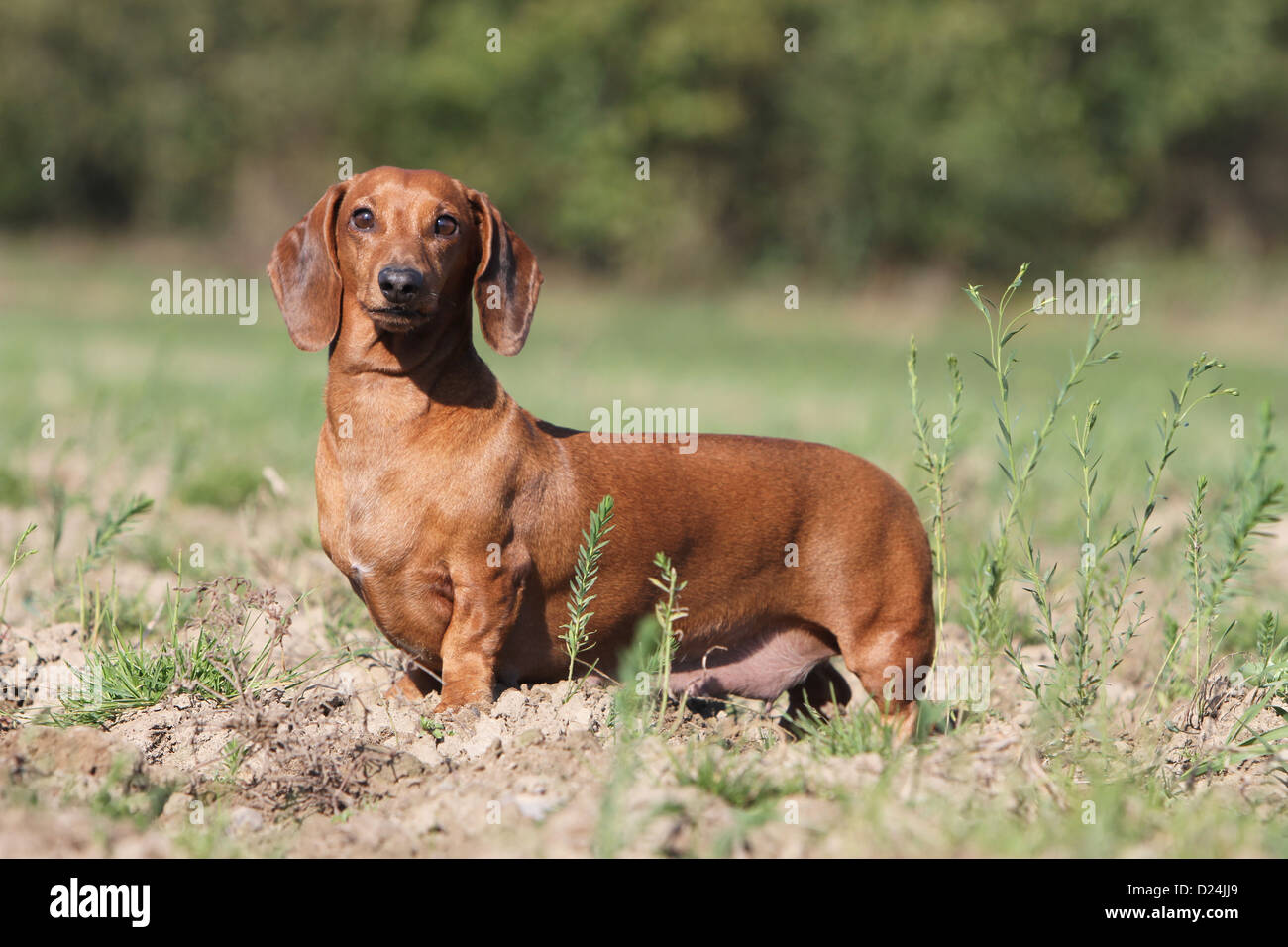 Dog Dachshund Dackel Teckel Shorthaired Adult Red