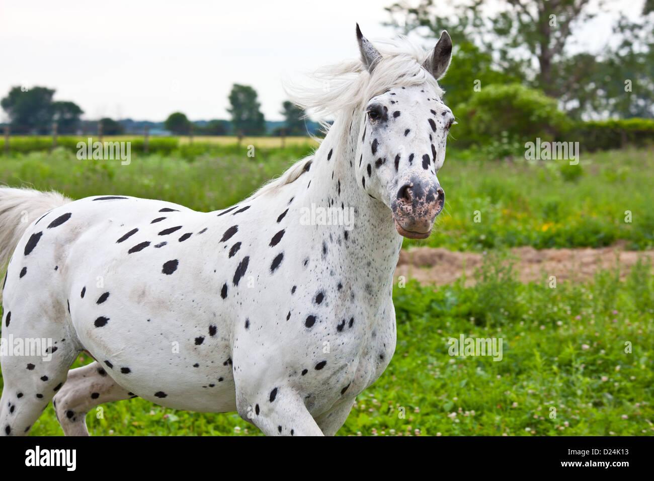 An appaloosa horse running in a green field Stock Photo