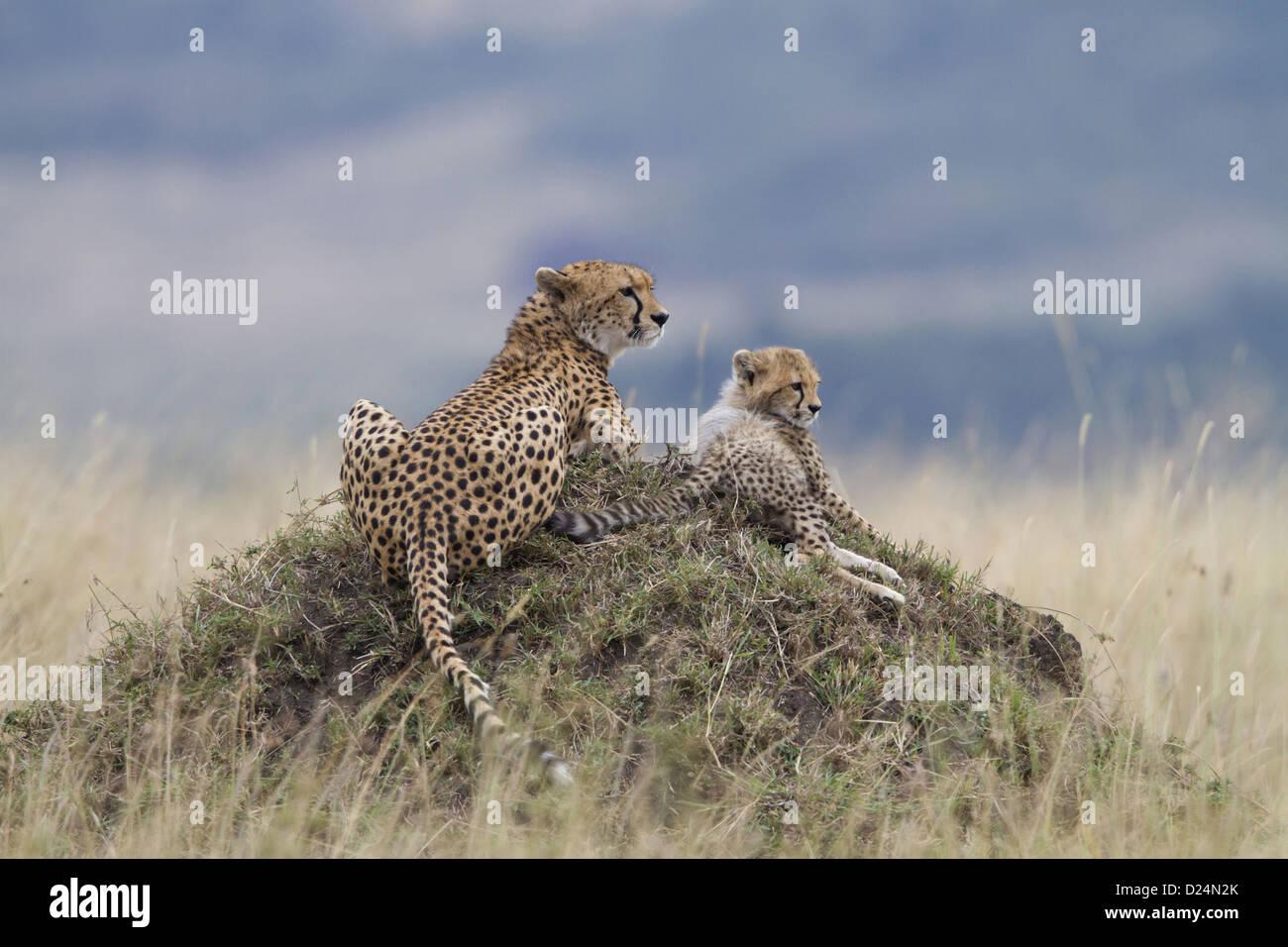 Cheetah (Acinonyx jubatus) adult female with cub, resting on termite mound, Masai Mara, Kenya, August Stock Photo