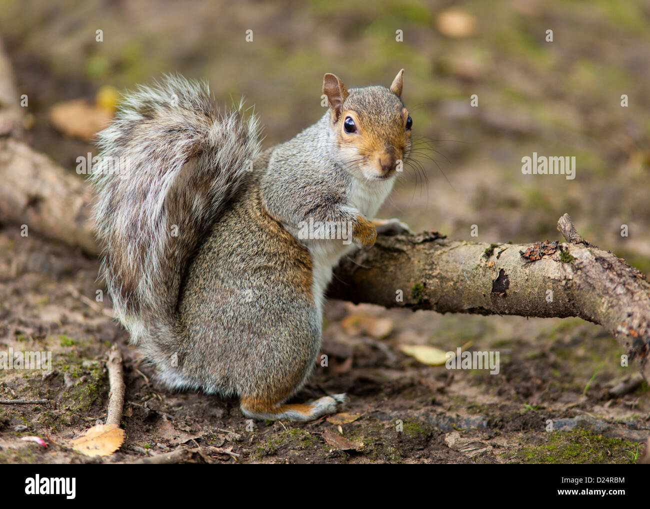 The Grey Squirrel in Autumn - Stock Image