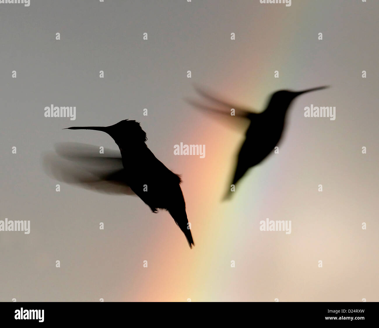 Ruby throated hummingbird flying past rainbow bird Ohio - Stock Image