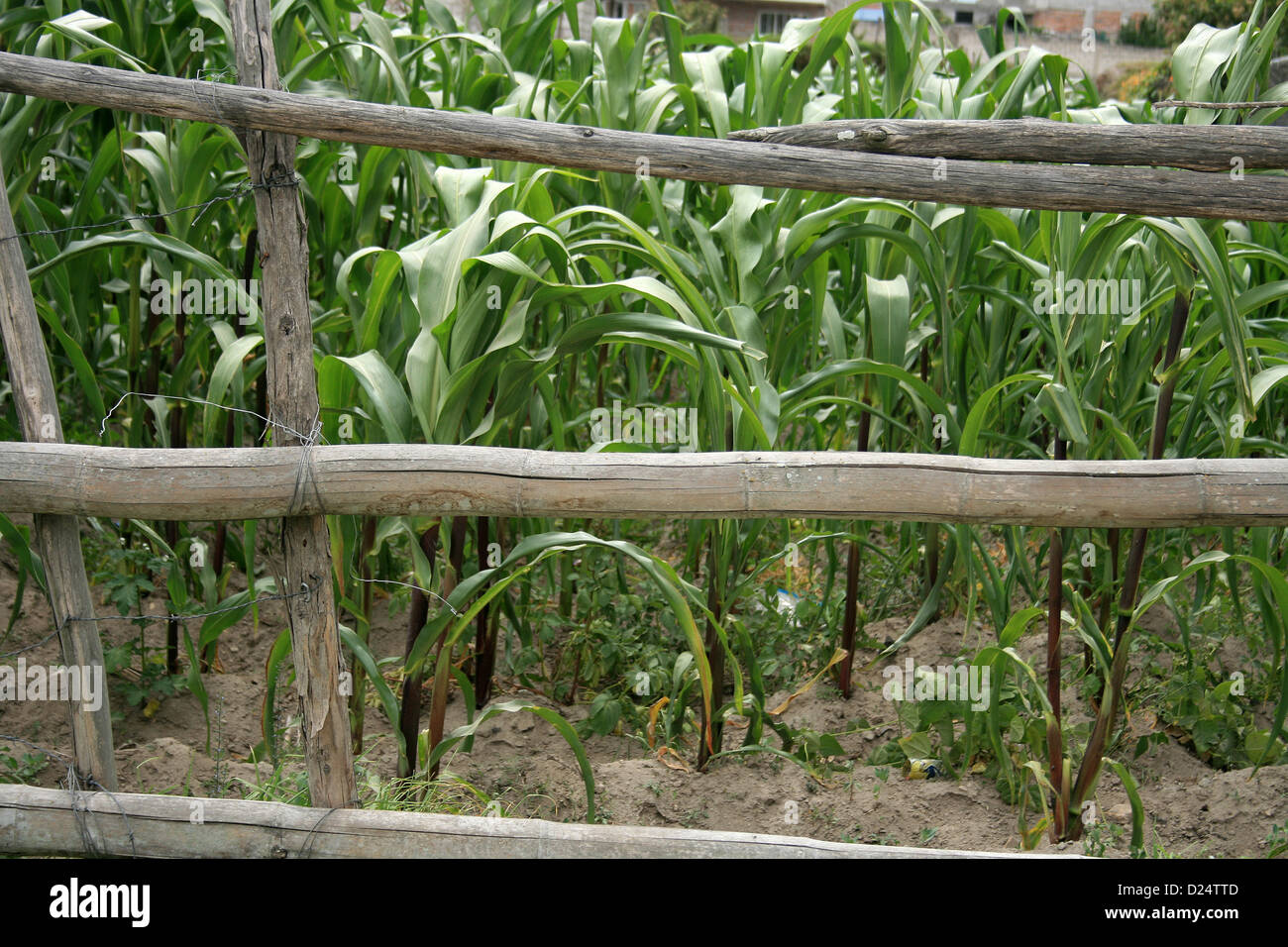 A wood rail fence beside a field of corn on a rural property in Cotacachi, Ecuador - Stock Image