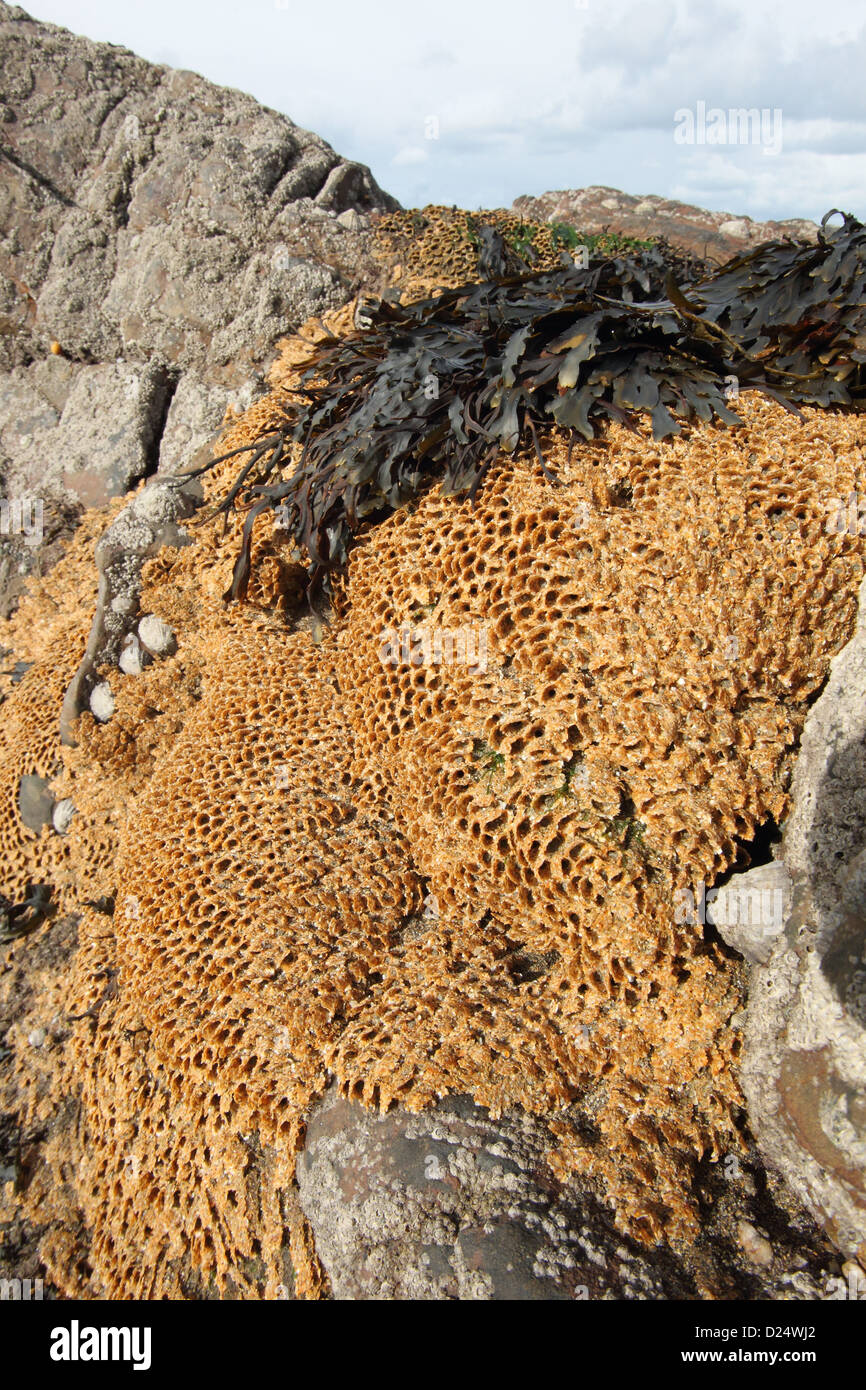 Honeycomb Worm (Sabellaria alveolata) tube reef colony, on exposed rocky shore at low tide, Bude, Cornwall, England, - Stock Image