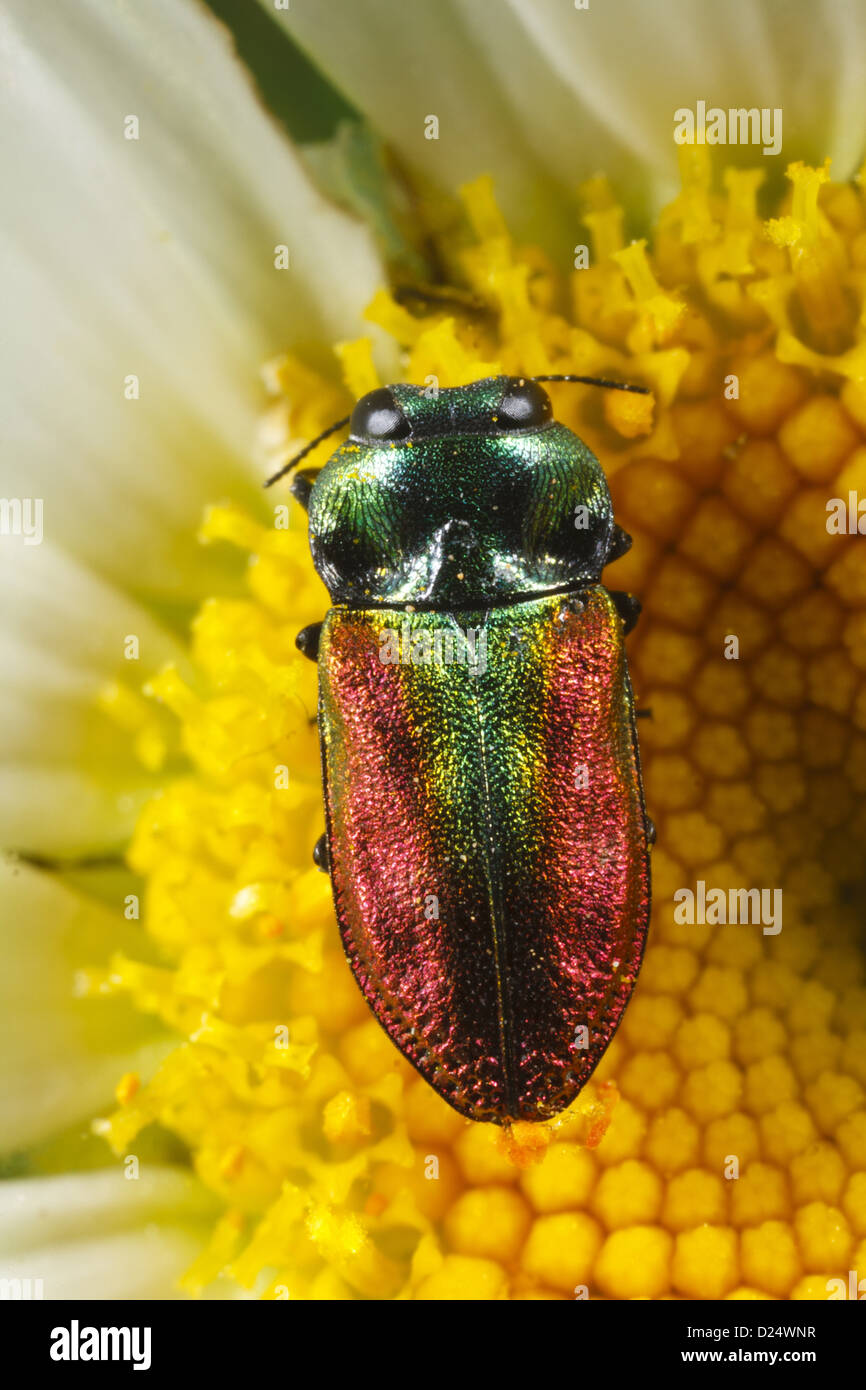 Jewel Beetle Anthaxia fulgurans adult female feeding on Ox-eye Daisy Leucanthemum vulgare flower Causse de Gramat - Stock Image