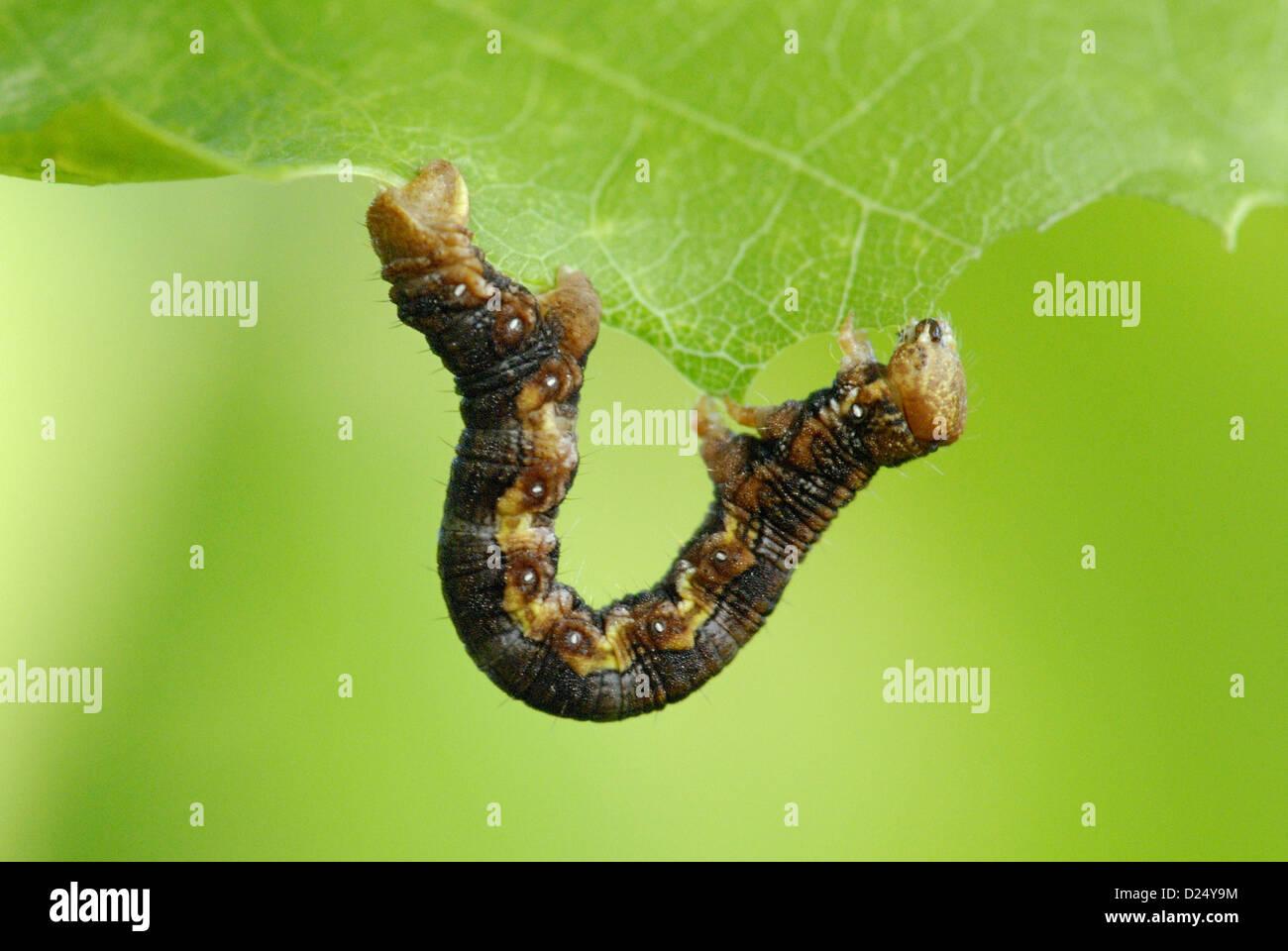 Mottled Umber (Erannis defoliaria) caterpillar feeding on leaf in ancient woodland Alun Valley Vale Glamorgan South - Stock Image