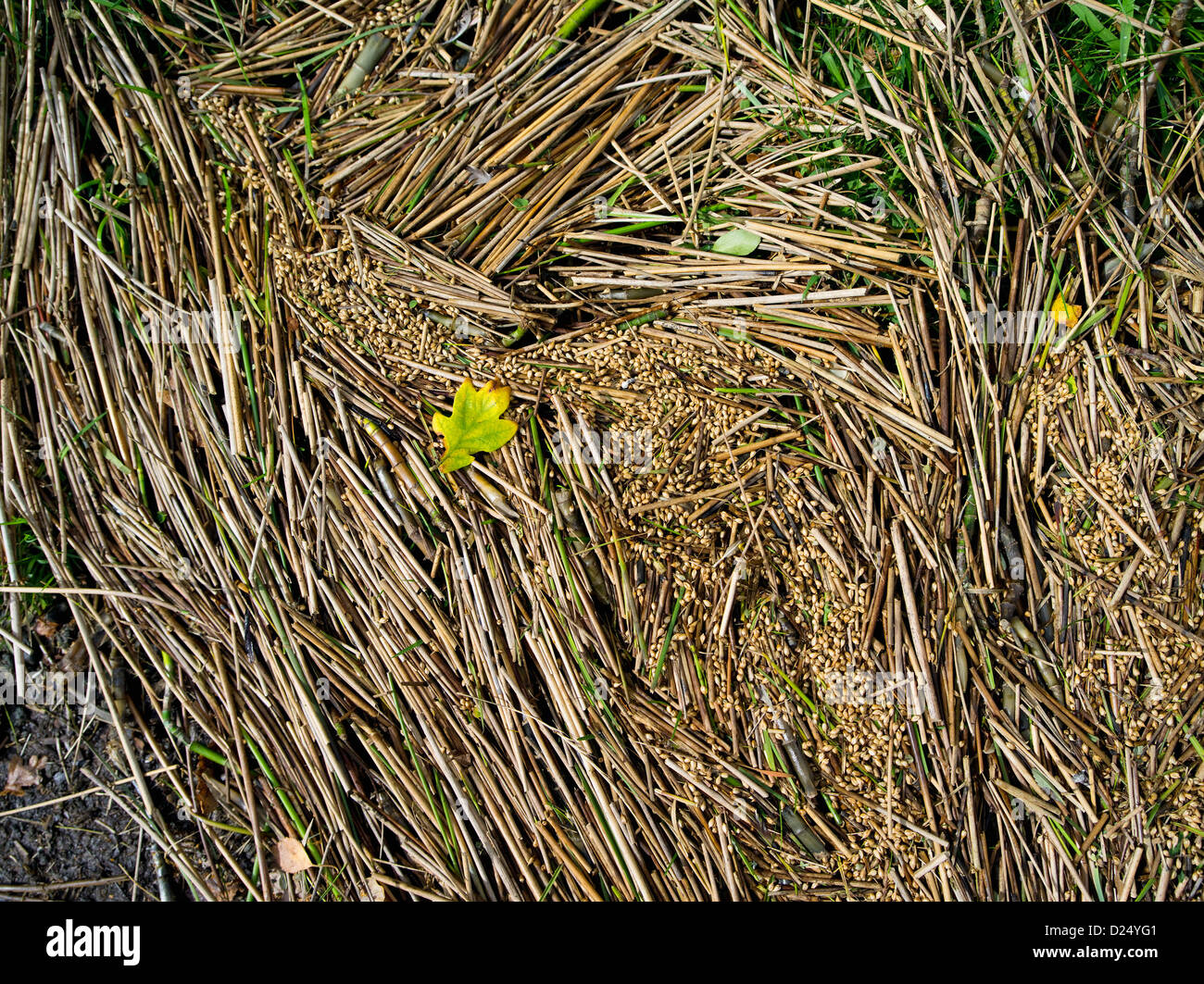 Reeds and other flotsam on the watermark of recent flooding - Stock Image