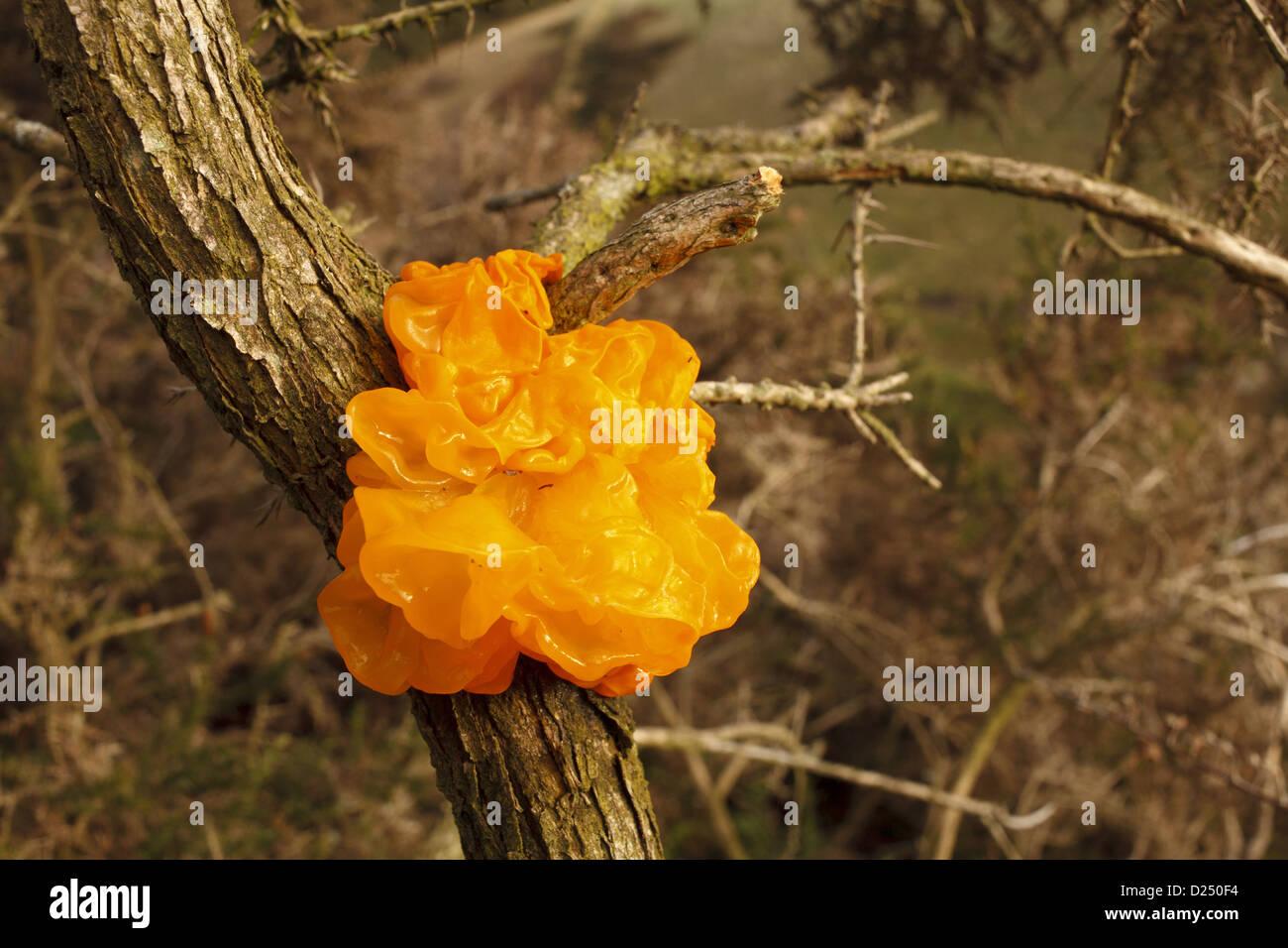 Yellow Brain Fungus (Tremella mesenterica) fruiting body, growing on Gorse (Ulex sp.), Powys, Wales, December - Stock Image
