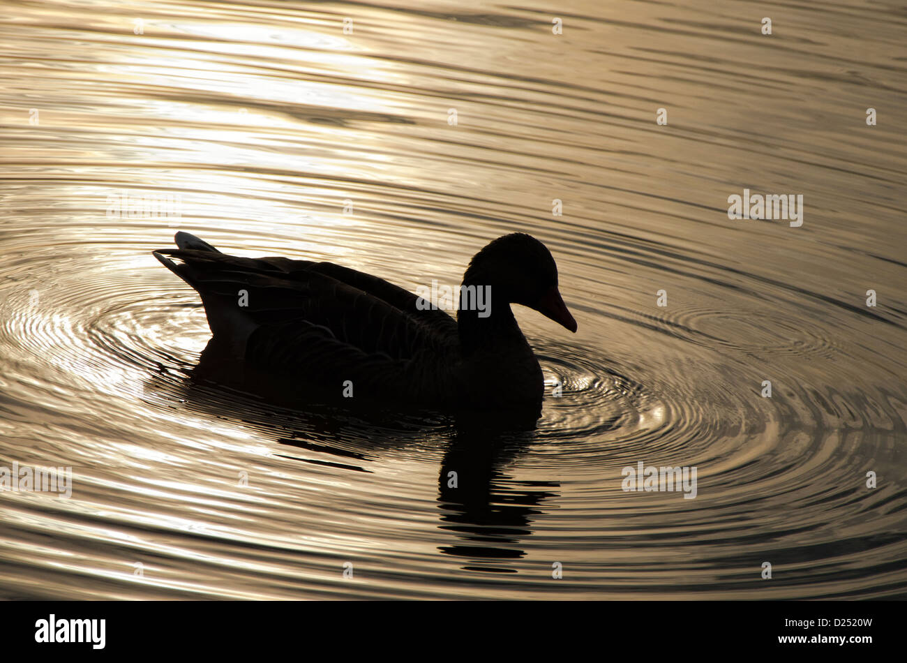 black silhouette of a duck at sunset on a lake with ripples - Stock Image