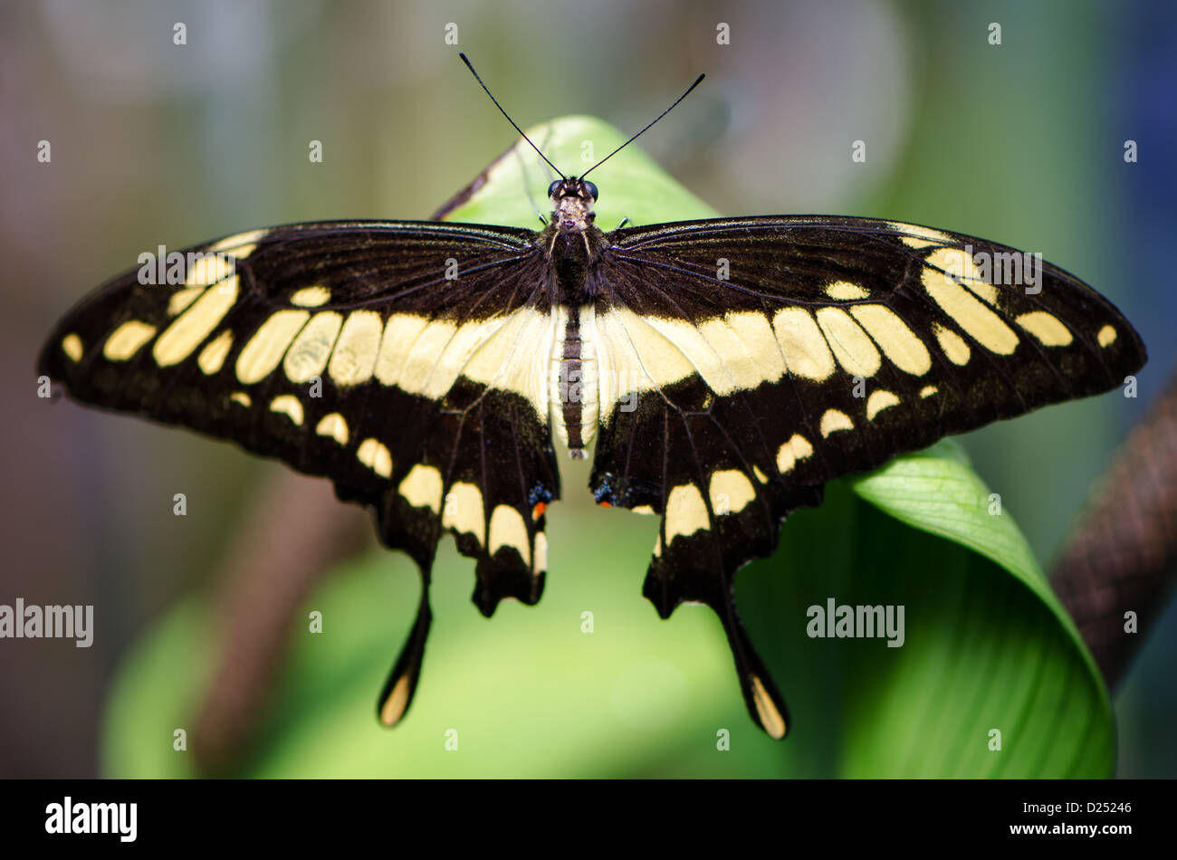 back view of a Swallowtail butterfly on a leaf - Stock Image