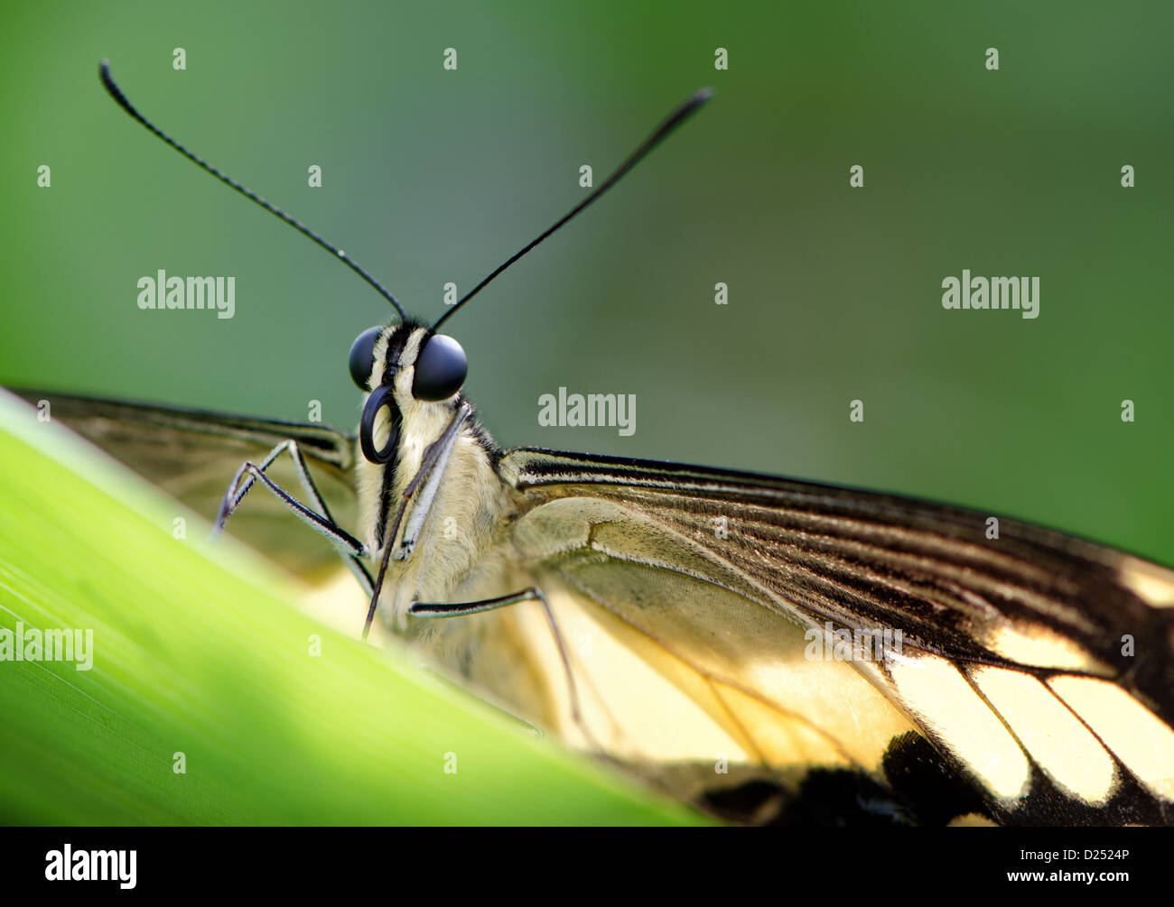 Front view / macro of a swallowtail butterfly on a leaf - Stock Image